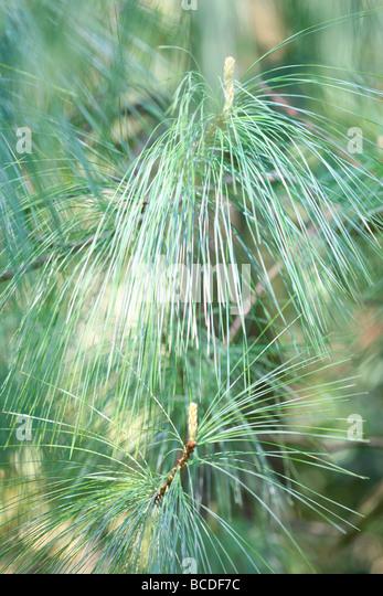 pinus wallichiania a stunning pine tree atmospheric fine art photography Photography JABP441 - Stock Image