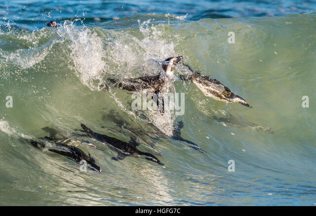African penguins swimming in ocean wave. The African penguin (Spheniscus demersus), also known as the jackass penguin - Stock Image