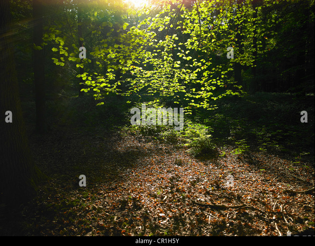 Sun shining through leaves in forest - Stock Image