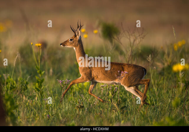 A young male Pampas Deer trotting on the lush grasslands of Emas National Park in Brazil. - Stock Image