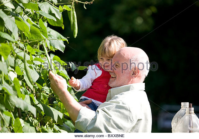 A grandfather and his granddaughter picking runner beans - Stock Image
