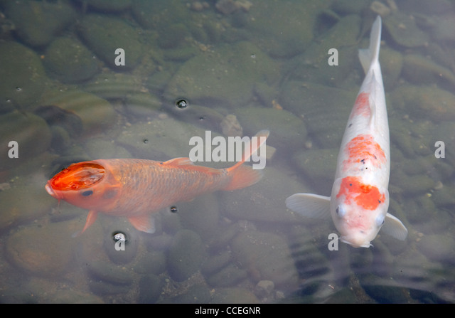 Surface pond fish stock photos surface pond fish stock for Artificial koi fish