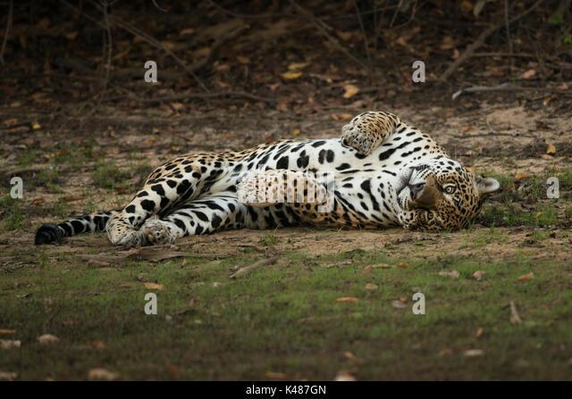A large adult male Jaguar from South Pantanal, Brazil - Stock Image