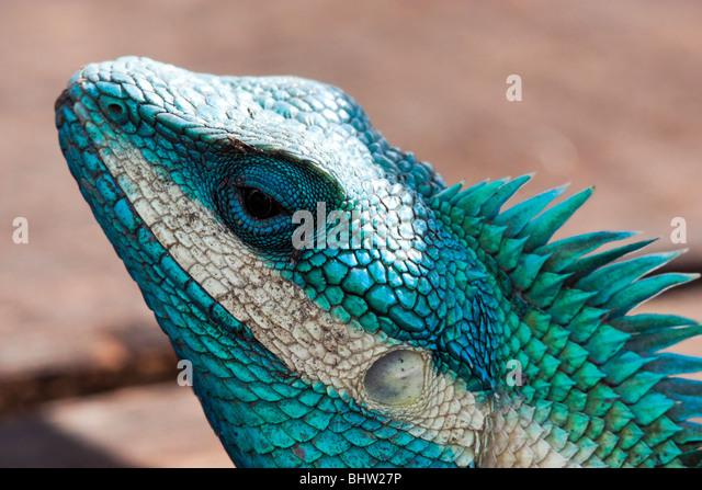 turquoise gecko stock photos amp turquoise gecko stock