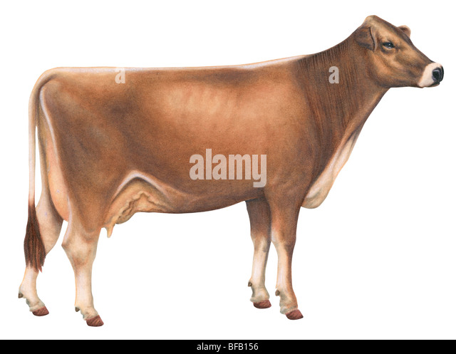 Brown Swiss cow - Stock Image
