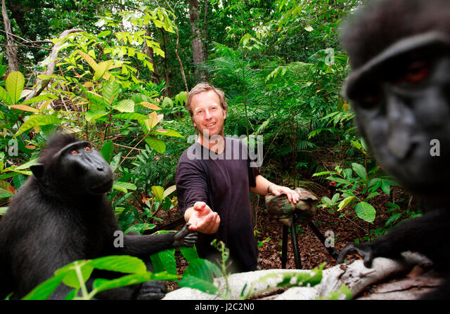 Asia, Indonesia, Sulawesi. Crested black macaque adult touching photographer, David Slater, in rainforest. - Stock Image