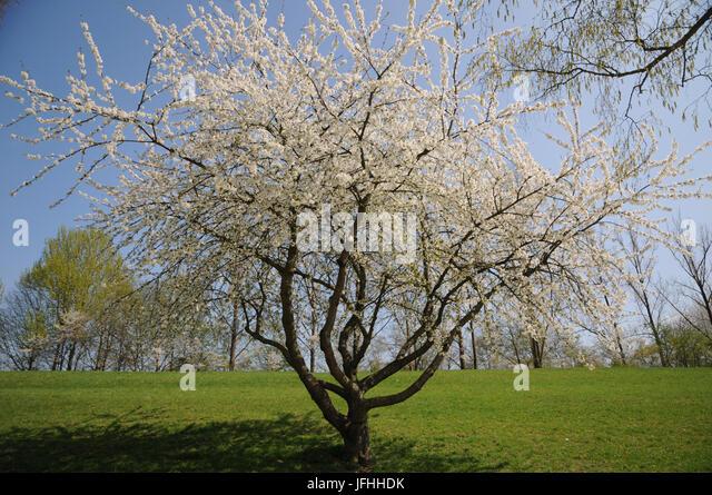 Prunus avium, Sweet Cherry - Stock Image
