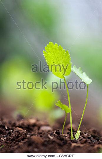 Pastinaca saliva. Parsnip seedlings under chicken wire in a vegetable garden - Stock Image