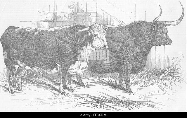 LONDON Smithfield Club cattle show 1847. Illustrated London News - Stock Image