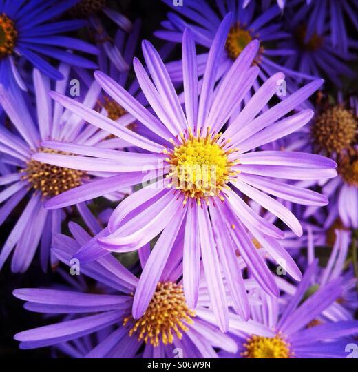 Purple flowers in a garden. - Stock Image