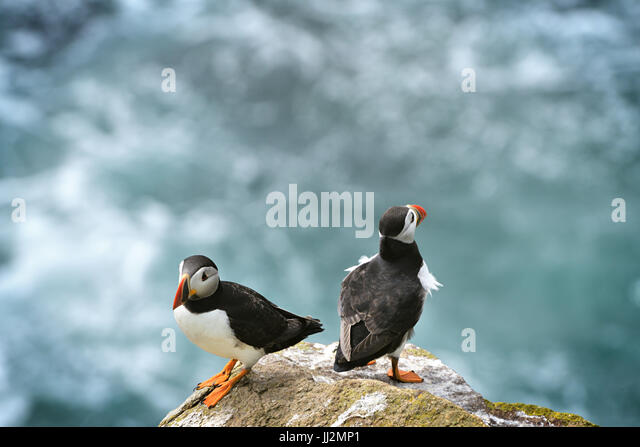 Puffins from Saltee Islands - Ireland - Stock Image
