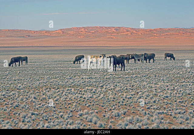 Cactus Jacks Tucson >> Desert Cattle Stock Photos & Desert Cattle Stock Images ...
