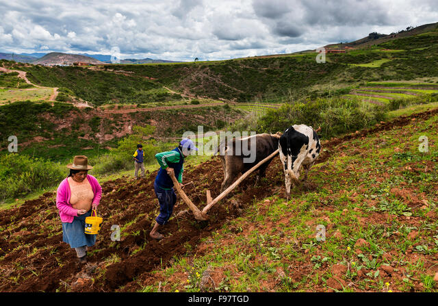 Maras, Peru - December 23, 2013: A Peruvian family plowing the land close to the Moray Inca Terraces, near Maras, - Stock Image