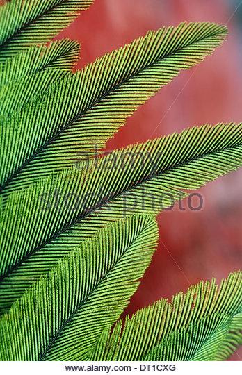 Costa Rica Resplendent quetzal feathers Pharomachrus mocinno - Stock-Bilder