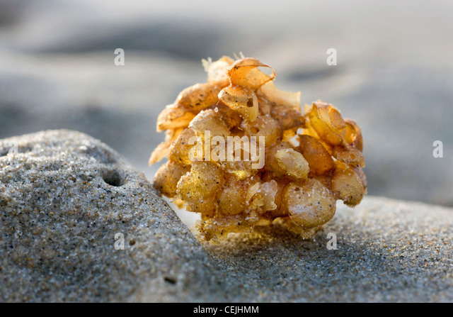 Common whelk (Buccinum undatum) egg mass / sea wash ball on beach, Belgium - Stock Image
