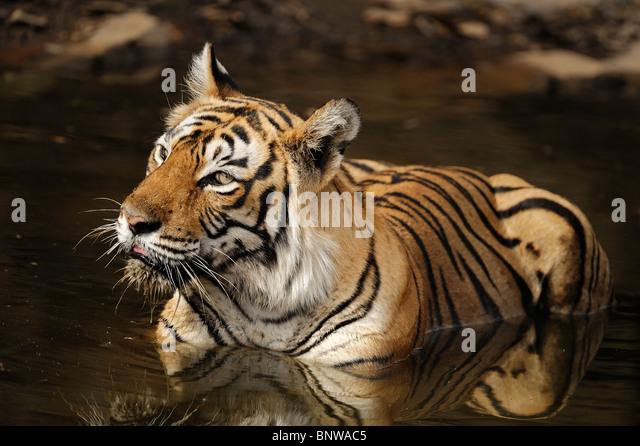 Bengal Tiger (Panthera tigris) relaxing in a waterhole, Ranthambore, India - Stock-Bilder