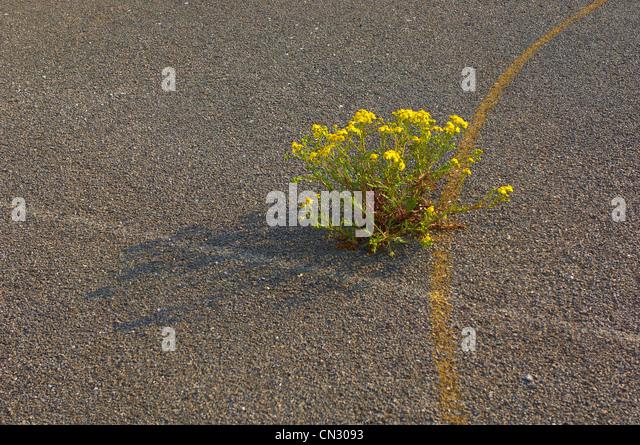 Plant growing through old school yard - Stock Image