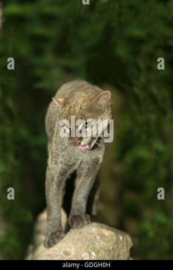 JAGUARUNDI herpailurus yaguarondi, ADULT ON ROCK - Stock Image