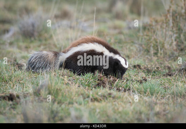 A Humboldt's Hog-nosed Skunk from Torres del Paine, Chile - Stock Image