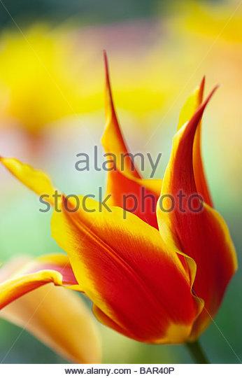 Lilly flowered tulip synaeda king abstract - Stock-Bilder