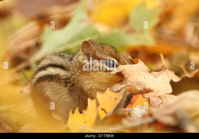 Eastern Chipmunk (Tamias striatus)in the golden forest. - Stock-Bilder