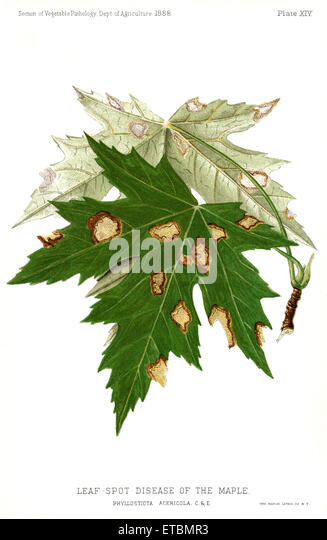 Leaf-Spot Disease of the Maple, Maple-Leaf Blight, Phyllostica Acericola, Report of the Commissioner of Agriculture, - Stock Image