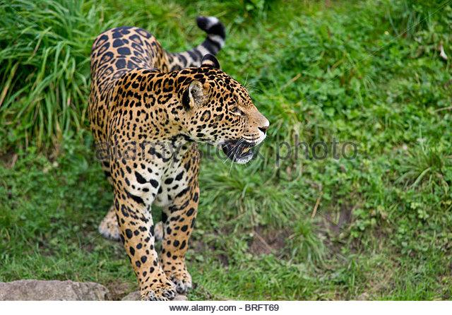 jaguar standing - photo #5
