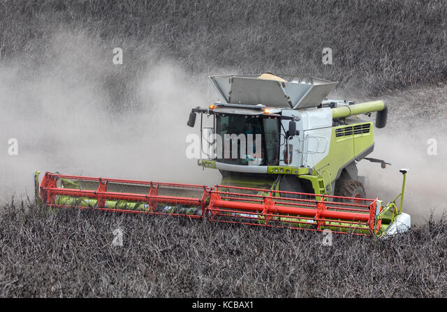 A combine harvester cutting a crop of horse bean or field bean and type of broad bean with smaller, harder seeds - Stock Image