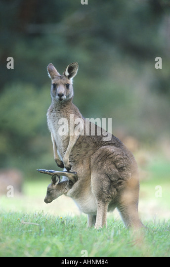 eastern gray kangaroo Macropus giganteus - Stock Image