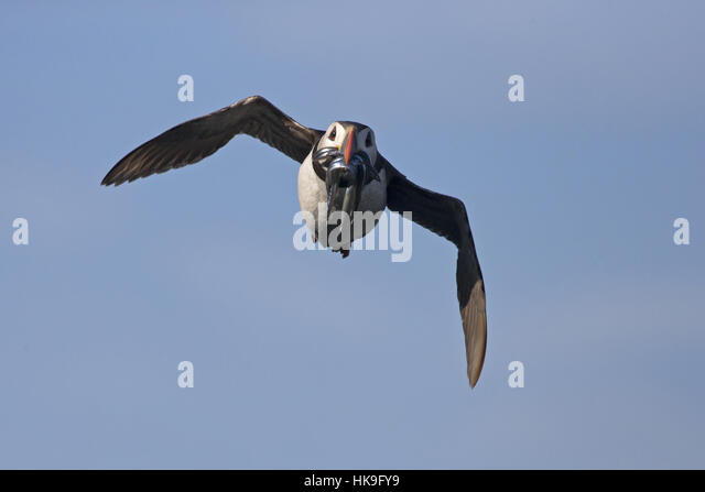 Atlantic Puffin (Fratercula arctica) adult, summer plumage, flying, with sand-eels in beak, Skomer Island, Pembrokeshire, - Stock-Bilder