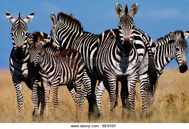 Grant's zebra in defensive formation, Equus quagga boehmi, Masai Mara Reserve, Kenya - Stock Image