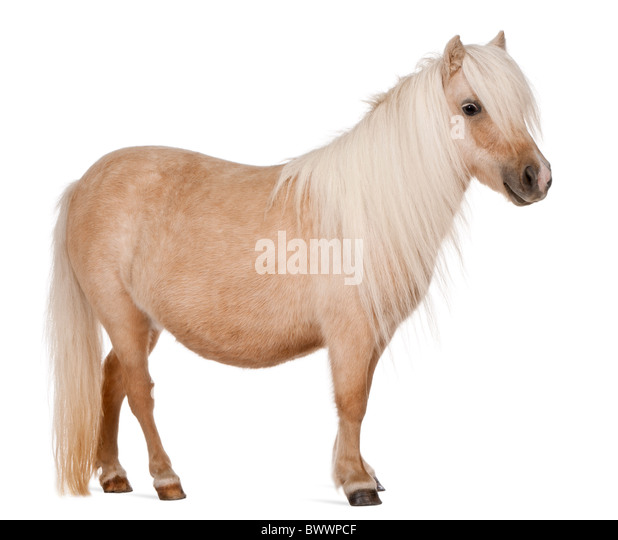 Palomino Shetland pony, Equus caballus, 3 years old, standing in front of white background - Stock Image