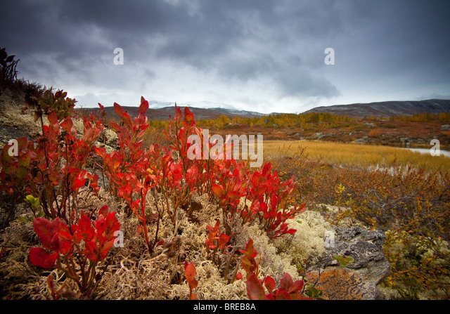 Fall colors at Strynefjellet, Norway. - Stock Image