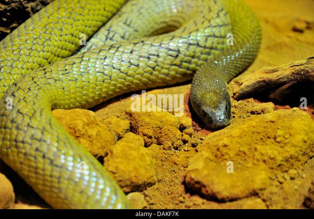 nland-taipan-oxyuranus-microlepidotus-mo