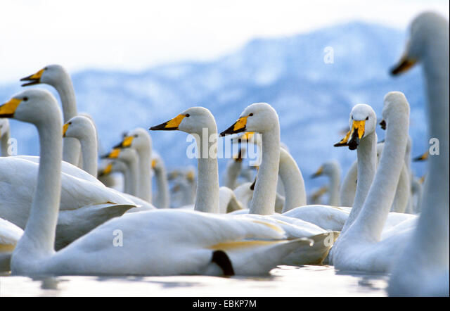 whooper swan (Cygnus cygnus), on a lake in winter, Japan, Hokkaido, Kussharo-Ko - Stock Image