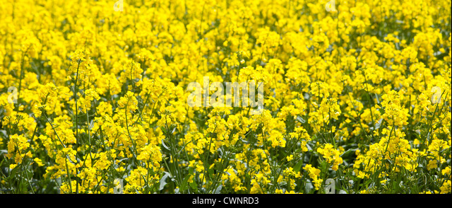 Oilseed rape crop, Brassica napus, in landscape at Swinbrook in the Cotswolds, Oxfordshire, UK - Stock Image