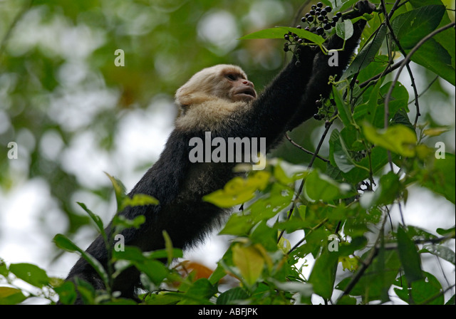 A 'white faced' capuchin monkey Cebus capucinus reaching for fruit Manuel Antonio National Park Costa Rica - Stock Image