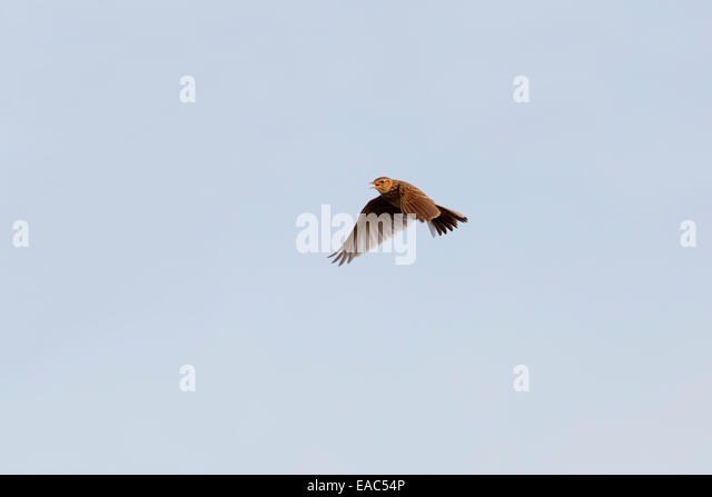 Skylark; Alauda arvensis; Songflight; UK - Stock Image