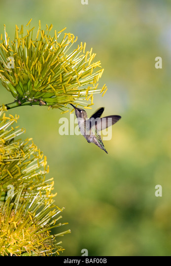 Hummingbird at Desert Botanical Gardens - Phoenix, Arizona - Stock Image