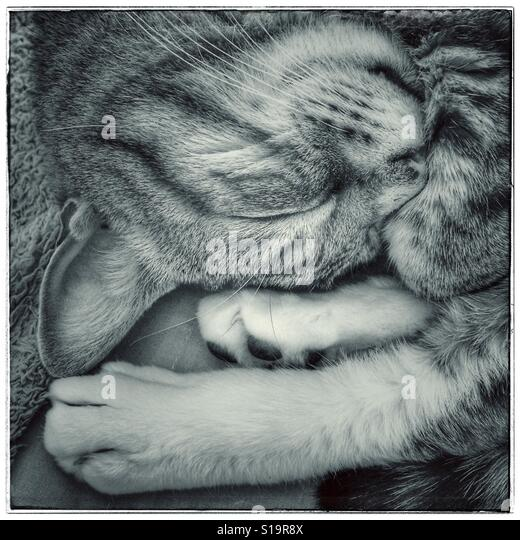 Black and white photo of sleeping cat. - Stock-Bilder
