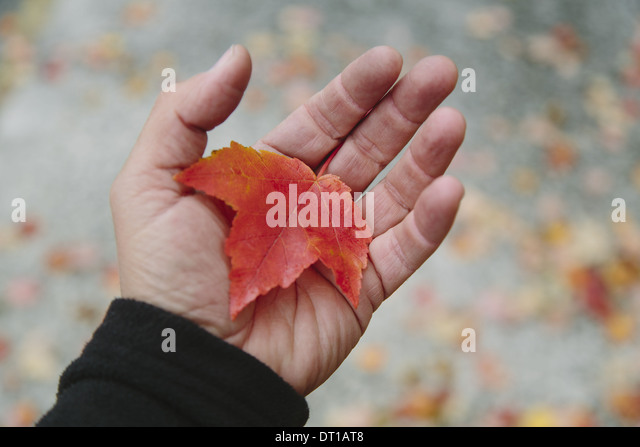 Seattle Washington USA man's hand holding maple leaf palm of his hand - Stock Image