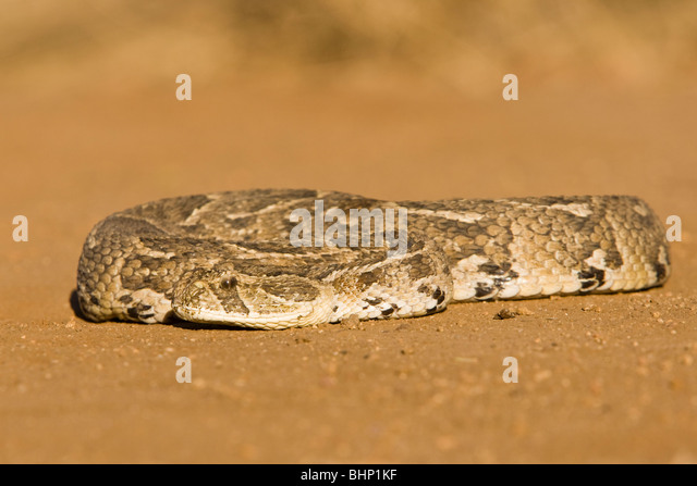 A puff adder (Bitis arietans) lying curled on open ground - Stock Image