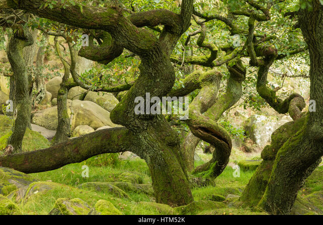 Twisted tree trunks in Padley Gorge, Derbyshire Peaks District, England, UK - Stock Image