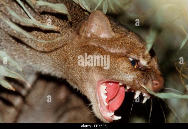 jaguarundi (Felis yagouaroundi, Herpailurus yagouaroundi), growling - Stock Image