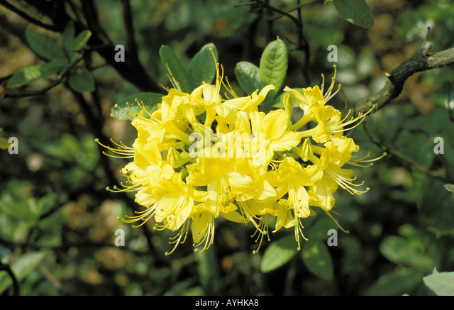 rhododendronbluete stock photos rhododendronbluete stock images alamy. Black Bedroom Furniture Sets. Home Design Ideas