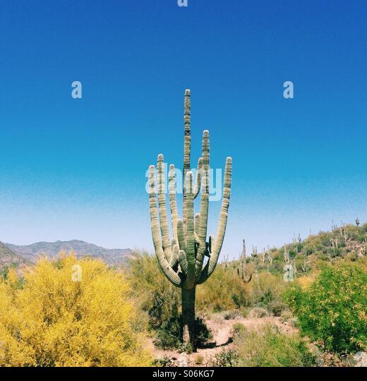 Arizona Cactus - Stock Image