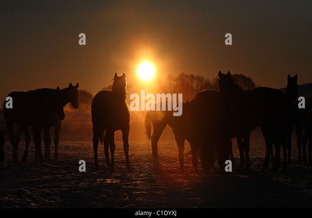 Silhouettes of horses in a paddock at sunrise, Goerlsdorf, Germany - Stock Image