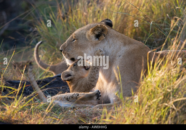 Lioness (panthera leo) with playful cub - Stock Image