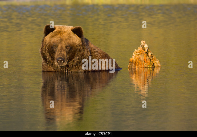 A female Brown bear mostly submerged in water at Alaska Wildlife Conservation Center, Southcentral Alaska, Summer. - Stock Image