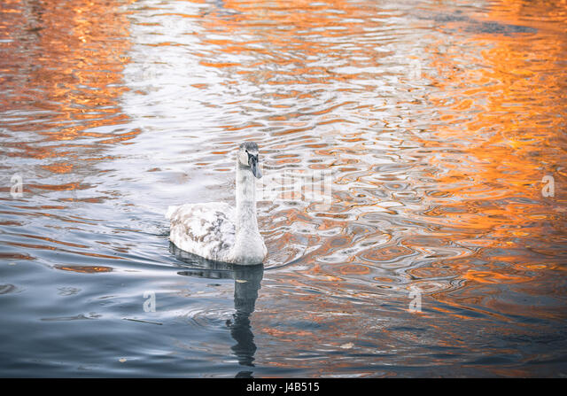 Young swan cygnet swimming in the dark water in the morning sunrise in autumn - Stock Image